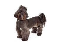 Petite position de chien de race mélangée majestueuse Images libres de droits