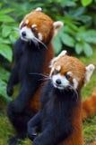 Petite position de panda rouge photographie stock