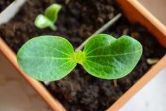 Petite pousse verte de courgette, jeune plante s'élevant dans un pot au printemps étroit  photo stock