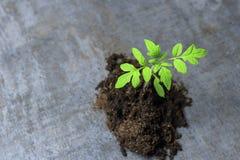 petite pousse verte la macro photographie une future tomate est apparue de la terre photo libre de droits