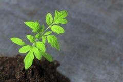 petite pousse verte la macro photographie une future tomate est apparue de la terre photos stock