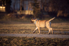 Petite promenade brune de chien dans l'arrière-cour Images stock
