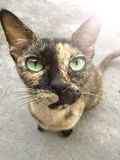Petite race de chaton de chat Images stock