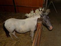 Petite race de cheval - belle dans l'écurie Photos stock