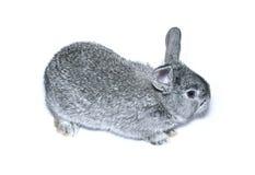 Petite race grise de lapin de chinchilla gris d'isolement Images stock