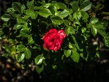 Petite rose de rouge encadrée par les feuilles vert-foncé photos stock