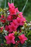 Petite rose gentille de rose de fleurs obscurcie Photos stock