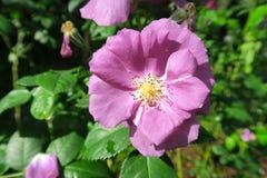 Petite rose normale de pourpre s'élevant sur un arbre Image libre de droits