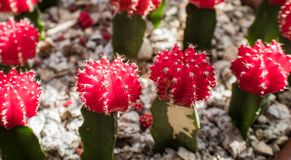 Petite ruby ball cacti. Petite little ruby ball cacti with white spines in a bed of pebbles Royalty Free Stock Photos