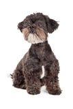 Petite séance de chien de race mélangée curieuse Photo stock