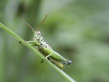 Petite sauterelle Photos libres de droits