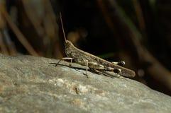 Petite sauterelle se reposant sur la pierre Photos stock