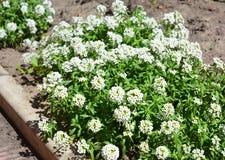 Petite snow white flowers of Lobularia maritima Alyssum maritimum, sweet alyssum or sweet alison Stock Images