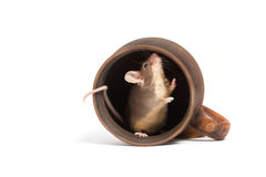 Petite souris affamée dans une tasse vide Photographie stock libre de droits