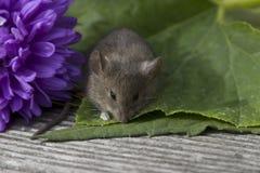 Petite souris avec la fleur Images libres de droits