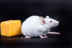 Petite souris blanche avec un bloc de fromage d'isolement sur un CCB noir Photographie stock libre de droits