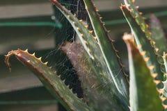 Petite toile d'araignée s'accrochant aux feuilles d'une vue succulente de détail d'usine de jucunda d'aloès images stock