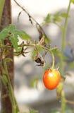 Petite tomate Photographie stock