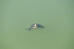 Petite tortue Images libres de droits