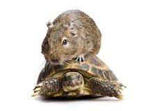 Petite tortue d'équitation de rongeur Photo stock