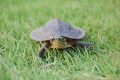 Petite tortue dans l'herbe Photo libre de droits