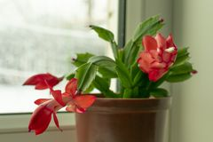 Petite usine mise en pot, fleur de Schlumberger avec les bourgeons rouges image libre de droits