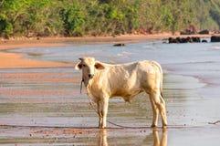 Petite vache blanche sur la plage Photographie stock libre de droits
