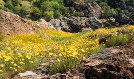 Petite vallée montagneuse couverte dans des pavots de Californie Image libre de droits