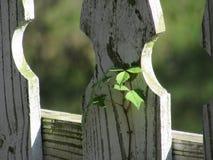 Petite vigne Vert-poussée des feuilles s'élevant contre la vieille clôture photos stock