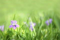 Petite Violet Flower sauvage à l'arrière-plan d'herbe verte Photographie stock