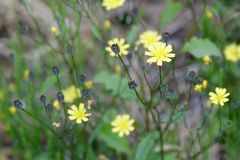 Petite Yellow Wildflowers Along a Scottish Country Road stock photography