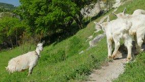 Petites chèvres à côté de mère du ` s de chèvre banque de vidéos