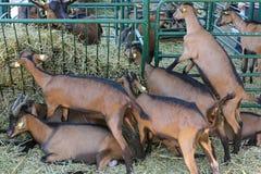 Petites chèvres à l'intérieur de clôture de ferme Photo stock