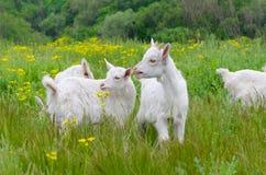 Petites chèvres Photo libre de droits