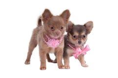 Petites dames de chiwawa Images stock