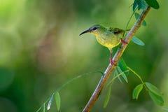 Petites espèces d'oiseau chanteur de cyaneus à pieds rouges de Honeycreeper - de Cyanerpes dans le Thraupidae de famille de tanag photos libres de droits