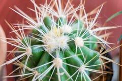 Petites espèces de cactus dans le vase brun Photo stock
