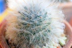 Petites espèces de cactus dans le vase brun Image stock