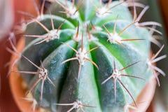 Petites espèces de cactus dans le vase brun Image libre de droits