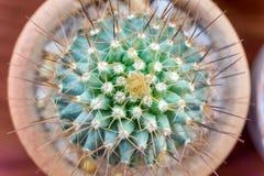 Petites espèces de cactus dans le vase brun Images stock