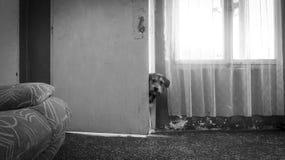 Petites expositions canines sa tête et piaulements par la porte Photos stock