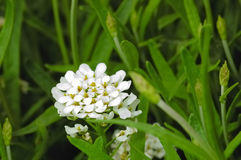 Petites fleurs blanches image stock