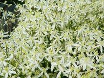 Petites fleurs blanches Images stock