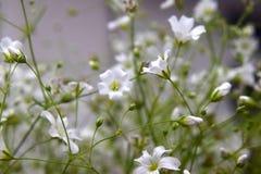 Petites fleurs blanches Images libres de droits