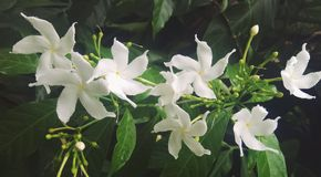 Petites fleurs blanches Photo stock