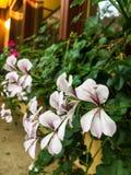Petites fleurs blanches Bush images libres de droits