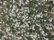 Petites fleurs blanches dans la campagne photographie stock