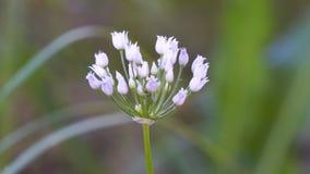 Petites fleurs blanches de floraison des oignons sauvages ou de souris clips vidéos