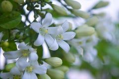 Petites fleurs blanches de kamini Photographie stock
