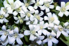 Petites fleurs blanches de kamini Image stock